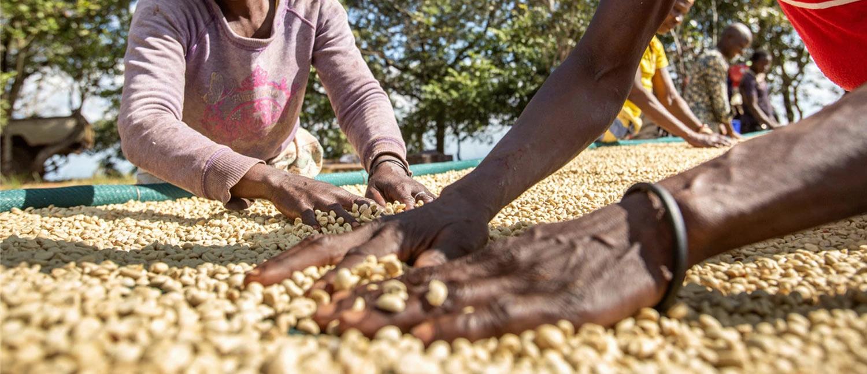 Gorongosa Coffee